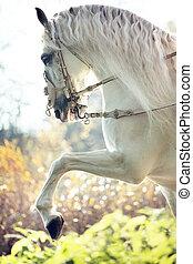 majestätisch, königlich, pferd, in, bewegung