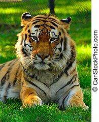 majestätisk, sibirisk tiger