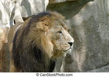 majestatyczny, cielna, lew