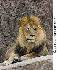 majestatyczny, lew
