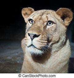 majestatyczny, lwica