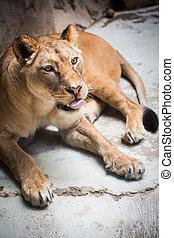 majestatyczny, portret, szczelnie-do góry, lwica