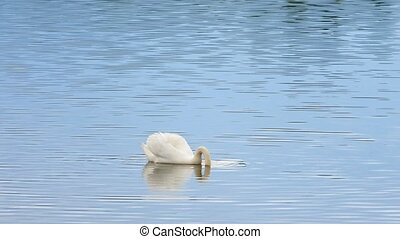 Majestic adult swan swim on smooth water level with sun reflections and sparkles