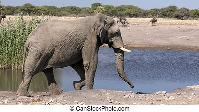 majestic african elephant coming to waterhole, in backgroun giraffes. Etosha, Namibia wildlife safari