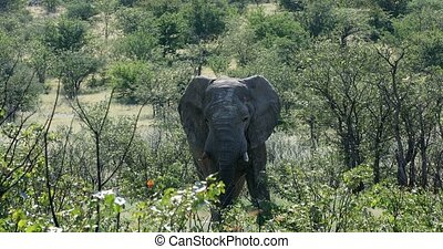 Majestic African Elephant in Etosha National Park, Namibia Africa safari wildlife