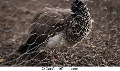 Majestic brown peacock calmly standing on the dirt ground behind fence on a farmyard. Peaceful and elegant brown peafowl in farm. Exotic animals lifestyle