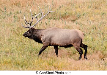 Majestic Bull Elk in Yellowstone Park