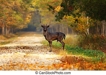majestic fallow deer stag on forest road