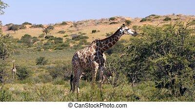 Majestic Giraffes in Kalahari, South Africa - cute Giraffes...