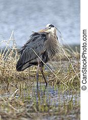 Majestic great blue heron in marsh.