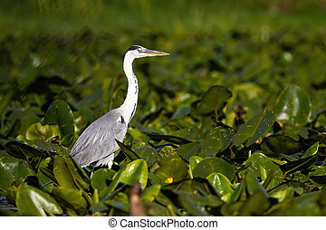 Majestic grey heron standing on swamp in summer nature. - ...