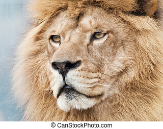 Majestic lion - Detail of male lion'S face