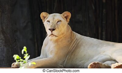 Majestic Lioness Resting in the Shade - Proud, mature, ...