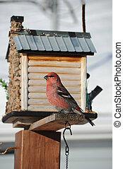 majestic male pine gros beak - majestic red male pine ...
