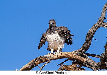 Majestic martial eagle landing in a dead tree after long flight in blue Kalahari sky
