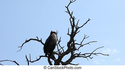 Majestic martial eagle perched on dead tree, Namibia Africa safari wildlife