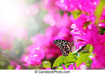 Majestic morning scene with butterfly feeding on nectar of a bouganvillea flower with sunrays and beautiful bokeh in the background. The butterfly has a spotted pattern and has black and white colors