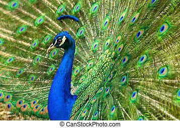 Majestic male Asian peacock proudly shows his colorful plumage