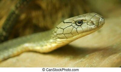 Majestic poisonous snake with light striped skin. Beautiful Monocled king cobra on rock in terrarium cage.
