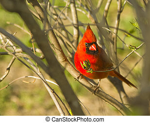 Majestic Red Cardinal