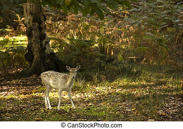 Red deer during rutting season in Autumn Fall, scene in fields and forests