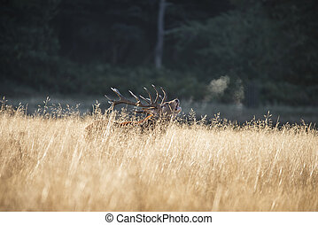 Majestic red deer stag cervus elaphus bellowing in open grasss field landscape during rut season in Autumn Fall