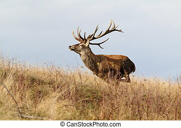 majestic red deer stag on the run