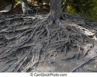 majestic roots of a big tree exposed due to soil erosion