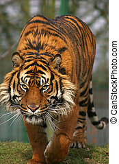 This superb Sumatran Tiger was photographed in the UK.