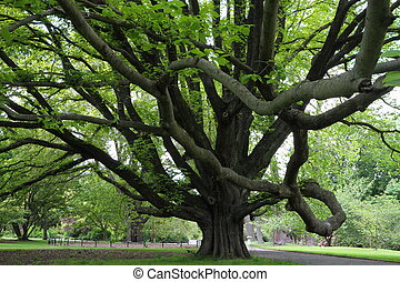 Majestic tree in Christchurch Botanic Garden, Canterbury,...
