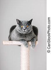 majestuoso, gato gris, colocar, en, el, cima, de, el, scratcher.