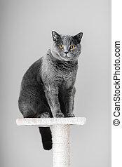 majestuoso, gris, gato purebred, sentado, en, el, scratcher