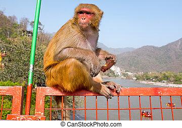 majom, étkezési, egy, icecream, képben látható, a, bridzs, -ban, laxman, jhula, alatt, india