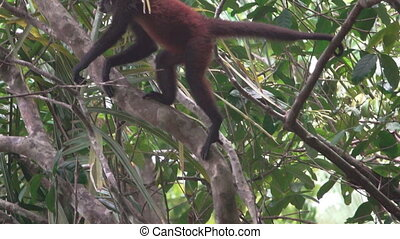 majom, ascends, fa, pók, slow-motion, szuper, felett