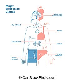 Major Endocrine Glands System. Medical science vector illustration diagram with pineal, pituitary, thyroid, thymus, adrenal, pancreas, testes and ovaries glands secreting human body hormones. Male and female