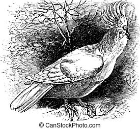 Major Mitchell's Cockatoo or Lophochroa leadbeateri, Cockatoo, vintage engraving.