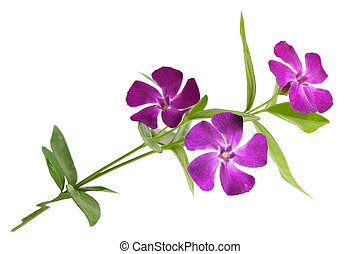 Vinca major periwinkle in bloom against a green background