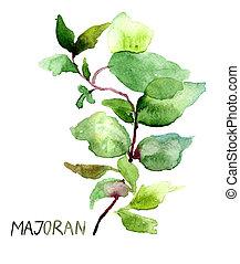 Majoran, watercolor illustration