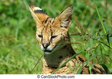 makanu, serval.
