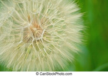 Seeds of a wildflower