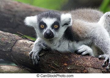 makimajom, kata, (lemur, catta)