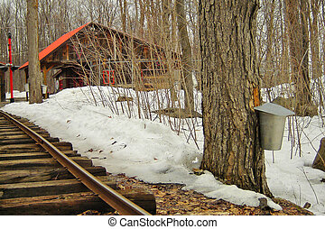 Making maple syrup: the sap is still gathered in pails (2)