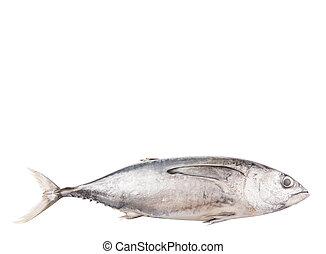 Makrela, tuńczyk,  fish