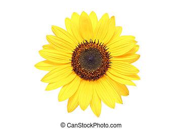 makro, aus, weißes, sonnenblume