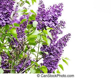 makro, avbild, av, fjäder, lila, viol blommar, abstrakt, lent fokus, blommig, bakgrund