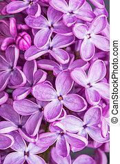 makro, avbild, av, fjäder, lila, viol blommar, abstrakt, mjuk, blommig, bakgrund