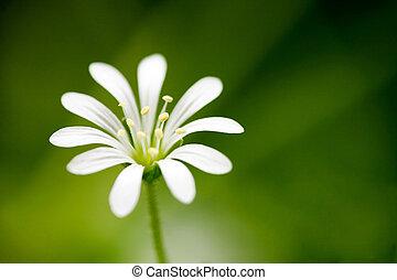 makro, biały kwiat