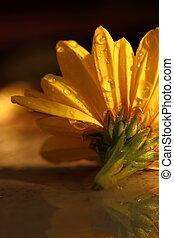 makro, dešťové kapky, rána, zbabělý, chryzantéma
