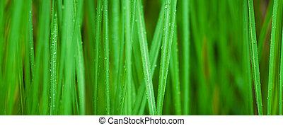 makro, græs, grøn baggrund
