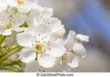 makro, i, tidligere, forår, træ, blomstre, hos, smal, dyb, i, field.